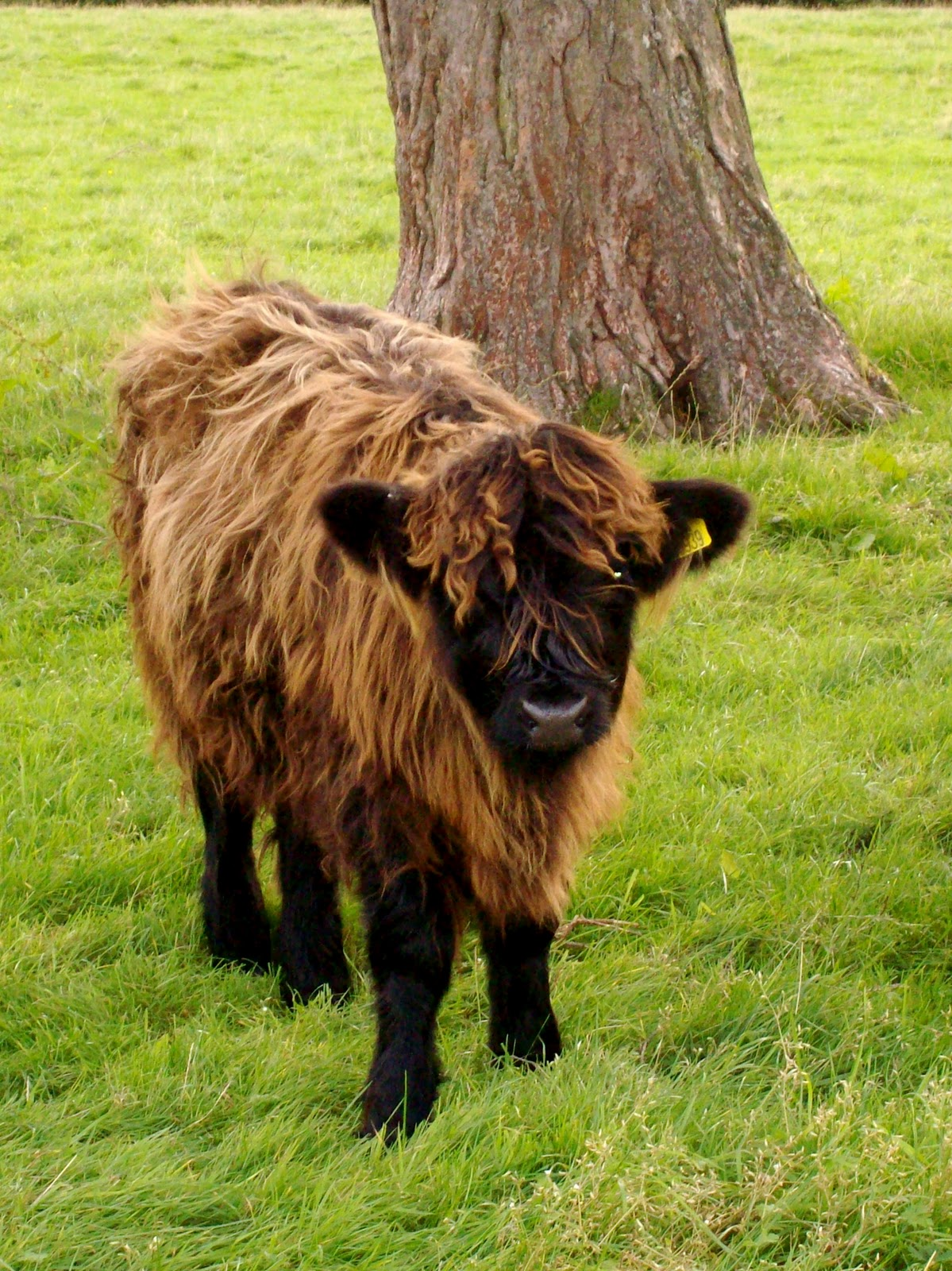 Highland Cattle coloring #14, Download drawings