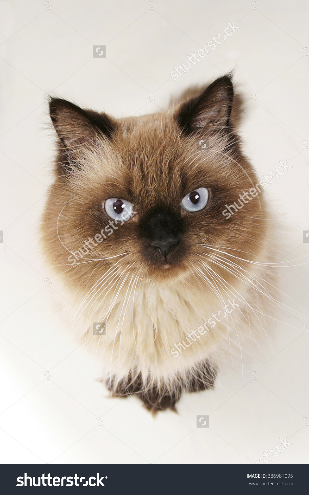 Himalayan Cat clipart #17, Download drawings