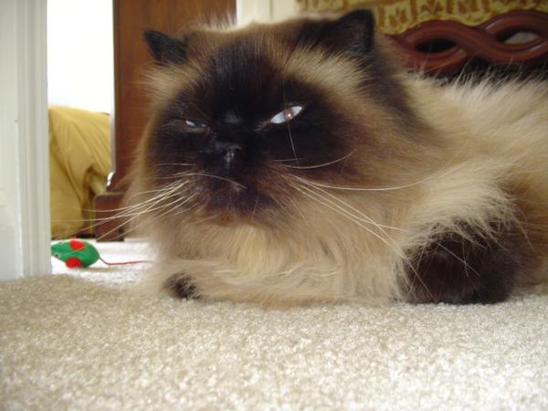 Himalayan Cat clipart #12, Download drawings