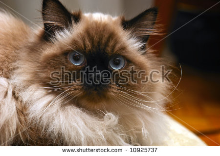 Himalayan Cat clipart #9, Download drawings