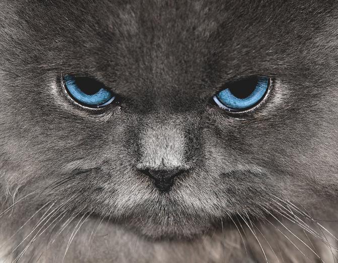 Himalayan Cat clipart #19, Download drawings