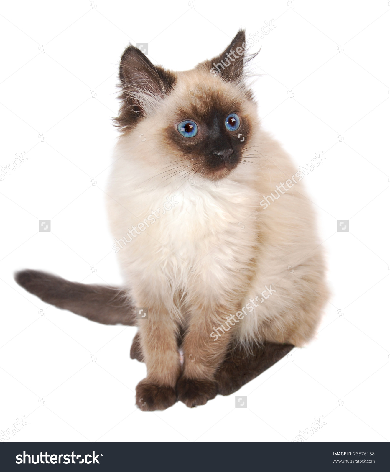 Himalayan Cat clipart #16, Download drawings