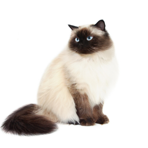 Himalayan Cat clipart #13, Download drawings