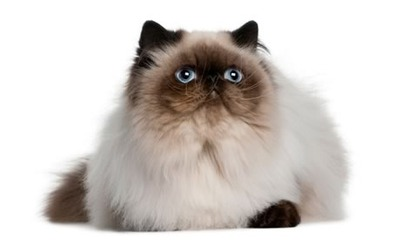Himalayan Cat coloring #11, Download drawings