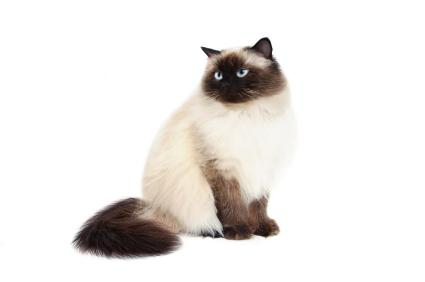 Himalayan Cat coloring #1, Download drawings