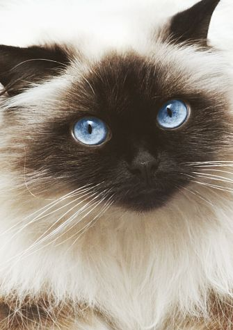Himalayan Cat coloring #7, Download drawings