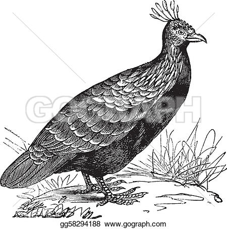 Himalayan Monal clipart #20, Download drawings