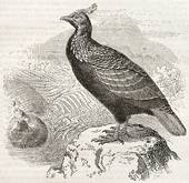 Himalayan Monal clipart #8, Download drawings