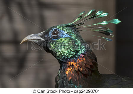 Himalayan Monal clipart #5, Download drawings