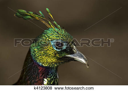 Himalayan Monal clipart #15, Download drawings
