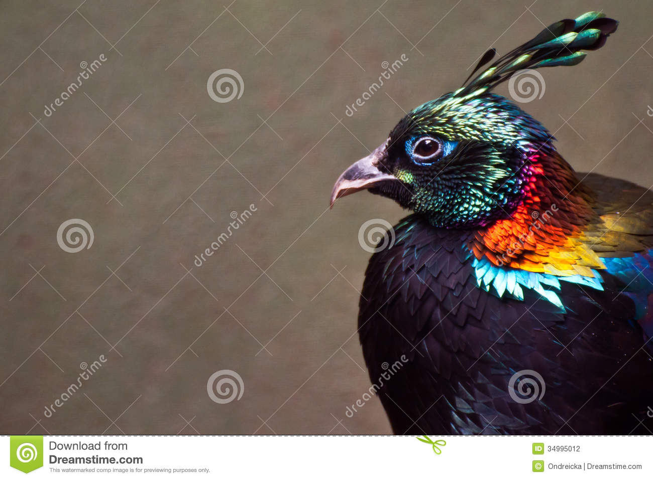 Himalayan Monal clipart #12, Download drawings
