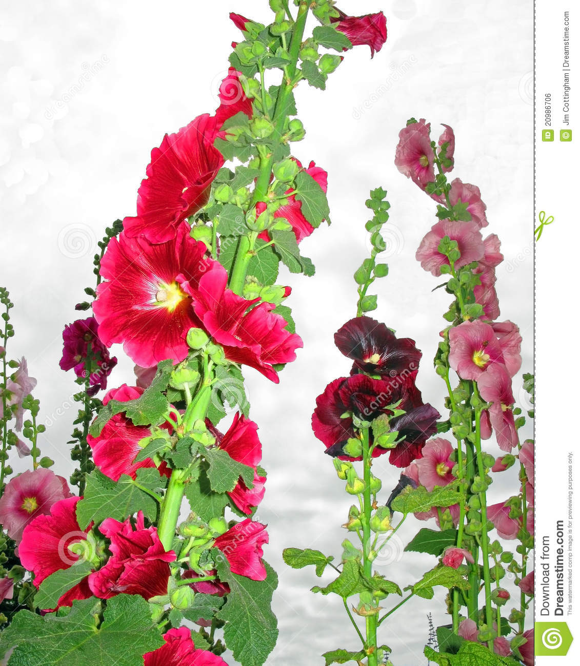 Hollyhocks clipart #11, Download drawings