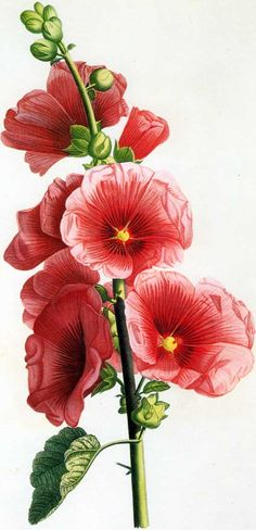 Hollyhocks clipart #17, Download drawings