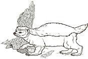 Honey Badger coloring #11, Download drawings