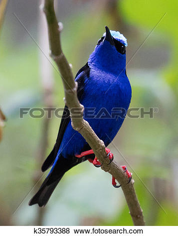 Honeycreeper clipart #16, Download drawings