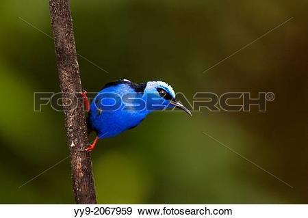 Honeycreeper clipart #14, Download drawings