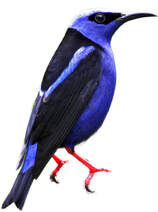 Honeycreeper clipart #18, Download drawings