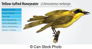 Honeyeater clipart #5, Download drawings