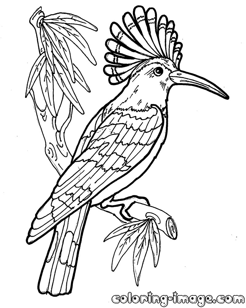 Hoopoe Coloring Download Hoopoe Coloring
