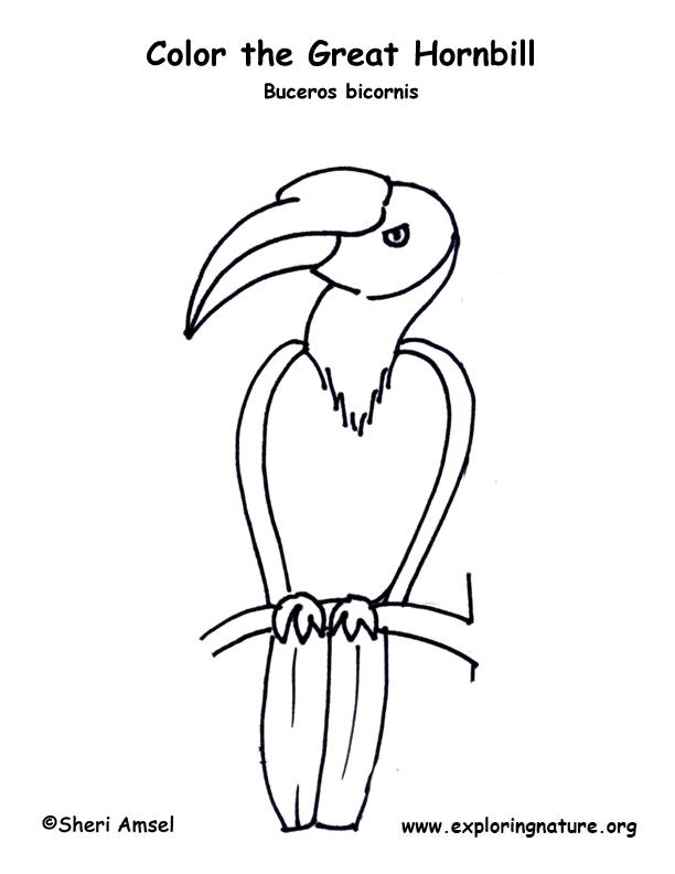Hornbill coloring Download Hornbill