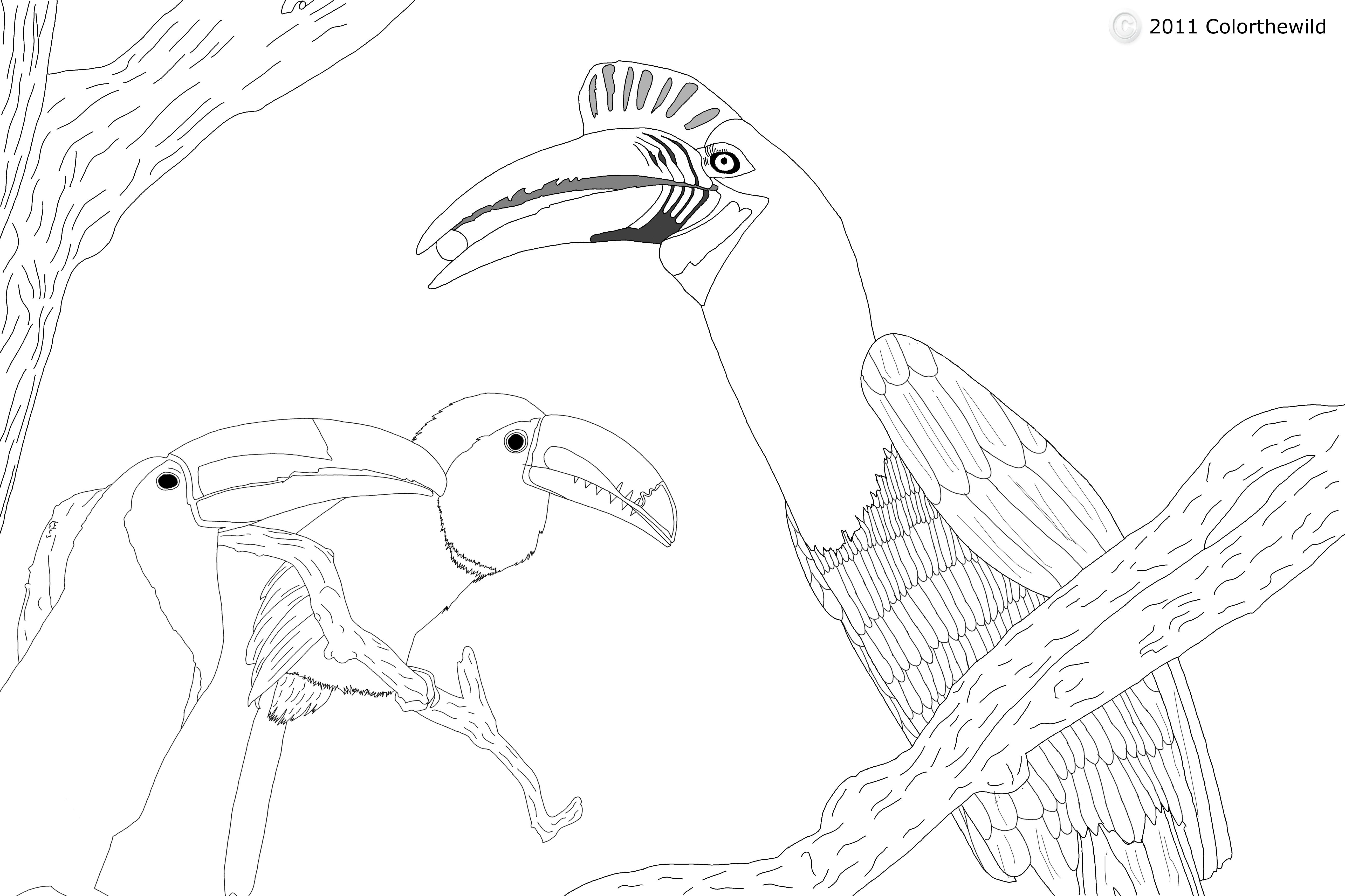 Hornbill coloring #20, Download drawings