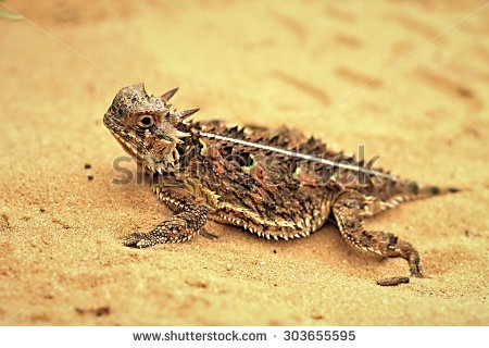 Horned Lizard clipart #11, Download drawings