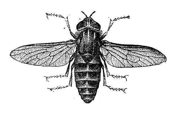 Horse-fly clipart #7, Download drawings