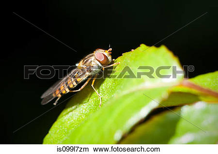 Hoverfly clipart #12, Download drawings