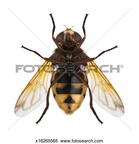 Hoverfly clipart #20, Download drawings