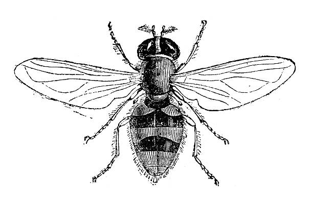 Hoverfly clipart #18, Download drawings