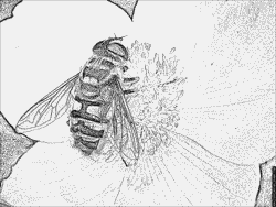 Hoverfly coloring #2, Download drawings
