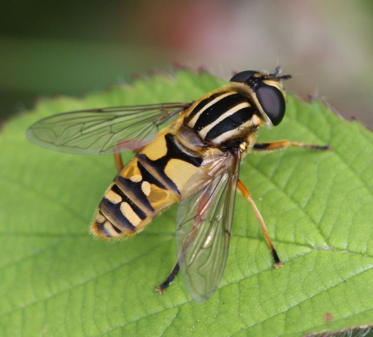 Hoverfly coloring #8, Download drawings