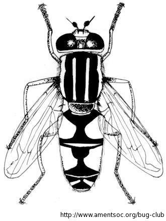 Hoverfly coloring #6, Download drawings
