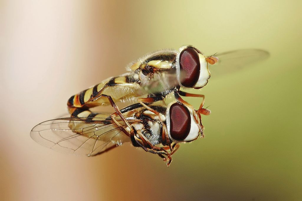 Hoverfly svg #15, Download drawings