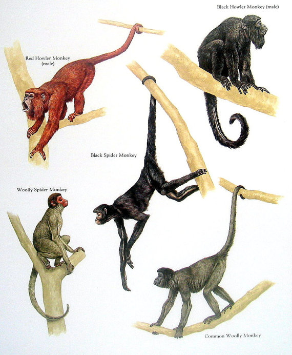 Howler Monkey clipart #8, Download drawings