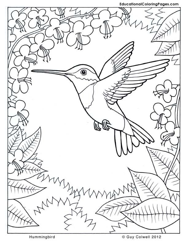 Hummingbird coloring #1, Download drawings