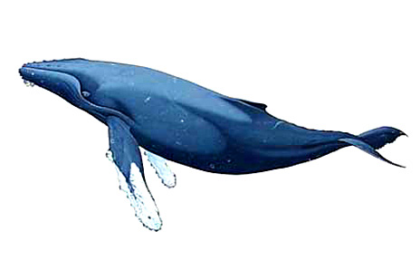 Humpback Whale clipart #11, Download drawings