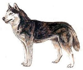 Husky clipart #13, Download drawings