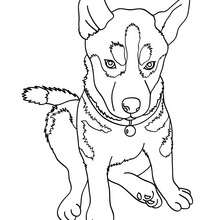 Husky coloring #16, Download drawings