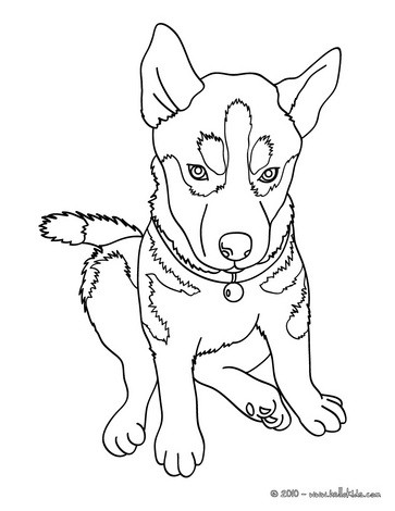 Husky coloring #15, Download drawings