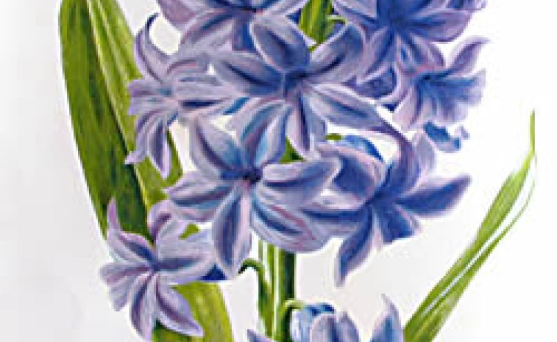 Hyacinth clipart #14, Download drawings