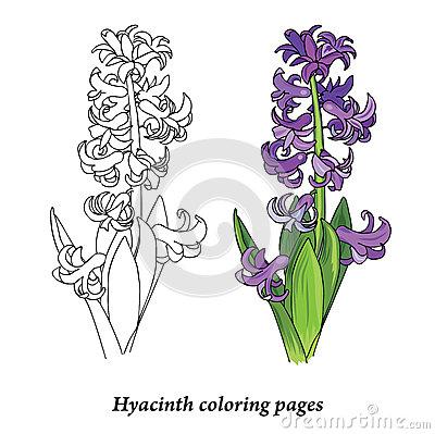 Hyacinth coloring #10, Download drawings