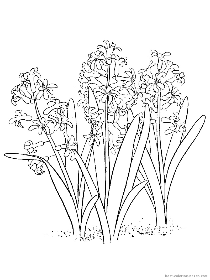 Hyacinth coloring #4, Download drawings