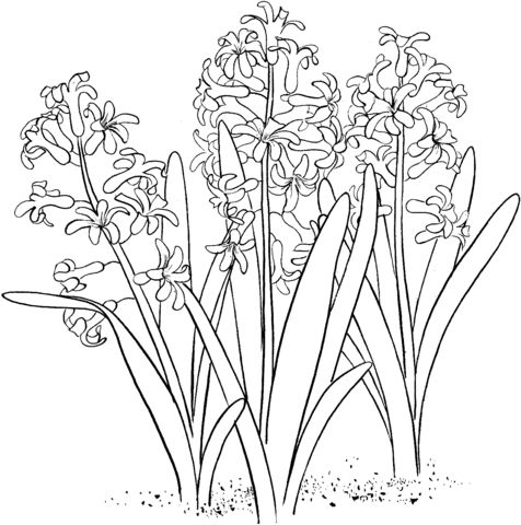Hyacinth coloring #18, Download drawings