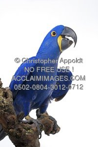 Hyacinth Macaw clipart #5, Download drawings