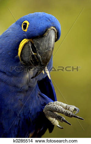Hyacinth Macaw clipart #10, Download drawings