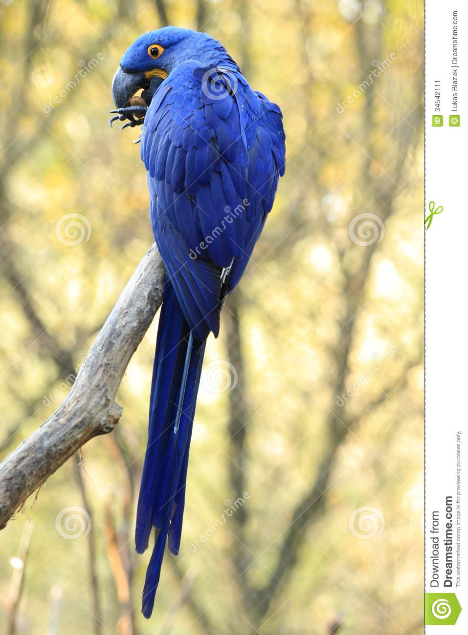 Hyacinth Macaw clipart #6, Download drawings