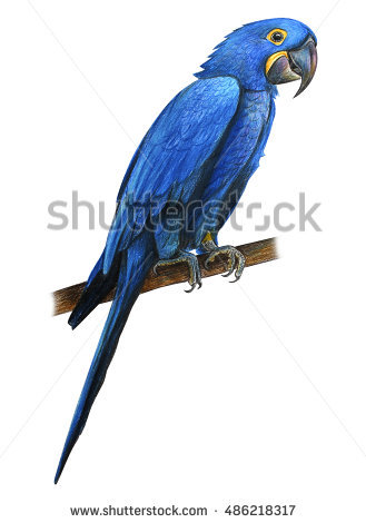 Hyacinth Macaw clipart #19, Download drawings