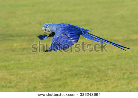 Hyacinth Macaw clipart #3, Download drawings