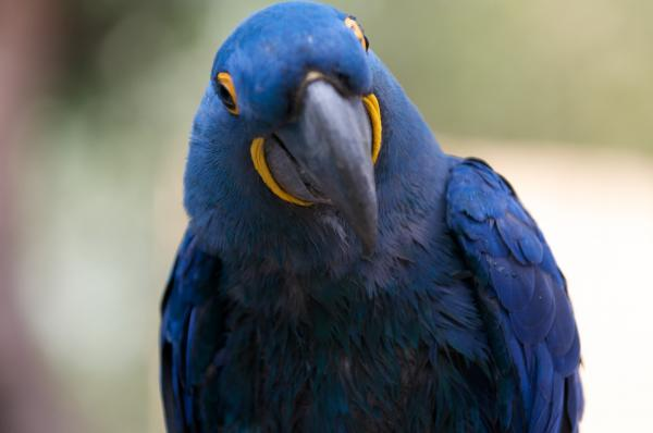 Hyacinth Macaw clipart #13, Download drawings